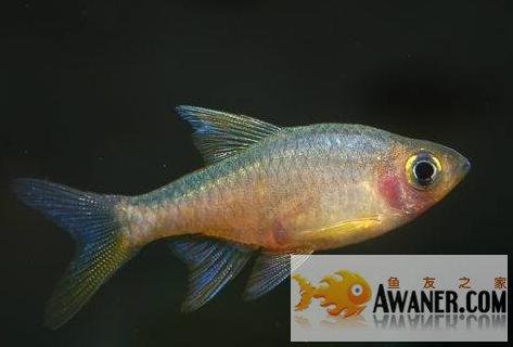 [鯉科]斯里蘭卡火波魚