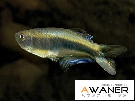 [脂鯉科]燕尾燈魚