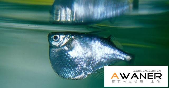 [脂鯉科]大銀斧燕子