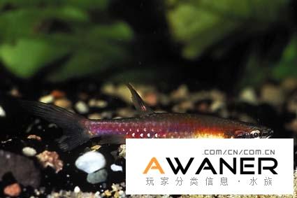 [脂鯉科]彩虹濺水魚