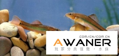 [鰍魚科]美麗小條鰍