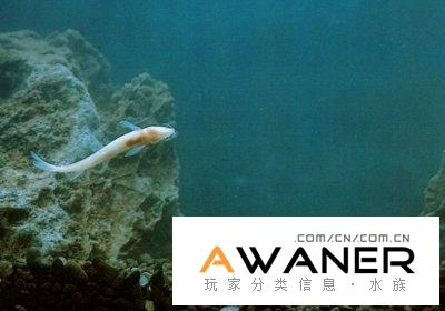[鰍魚科]泰國條鰍