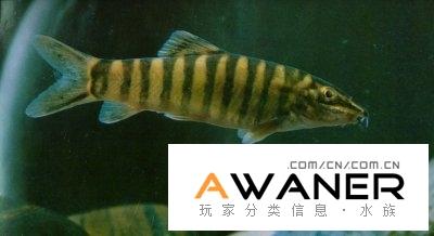 [鰍魚科]壯體沙鰍