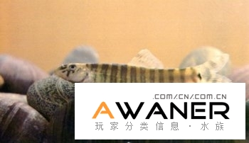 [鰍魚科]灕江副沙鰍
