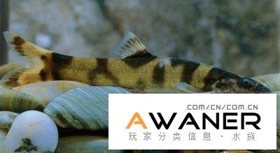 [鰍魚科]薄鰍