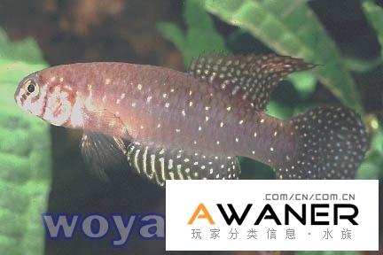 [卵生鱂魚科]懷特氏珍珠鱂