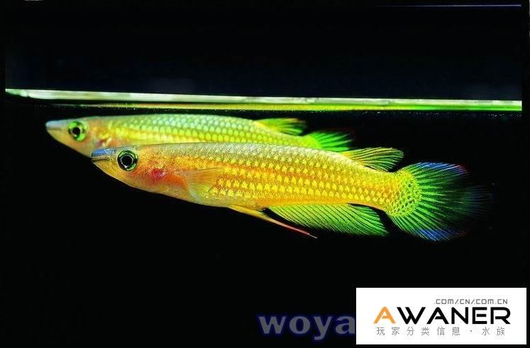 [卵生鱂魚科]黃金鱂