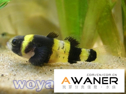 [卵生鱂魚科]小蜜蜂