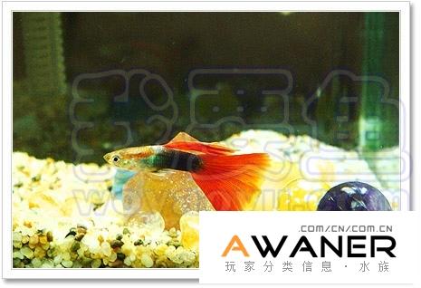 [胎生鱂魚科]紅尾禮服 / 禮服孔雀魚