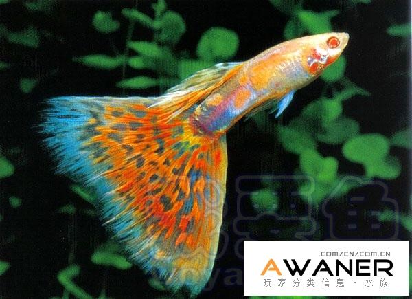 [胎生鱂魚科]紅馬賽克白子