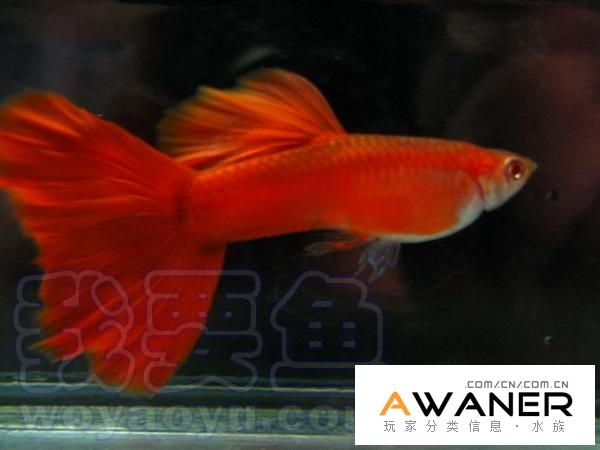 [胎生鱂魚科]全紅白子禮服孔雀魚