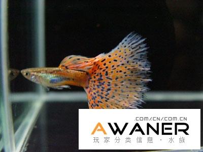 [胎生鱂魚科]紅草尾孔雀魚
