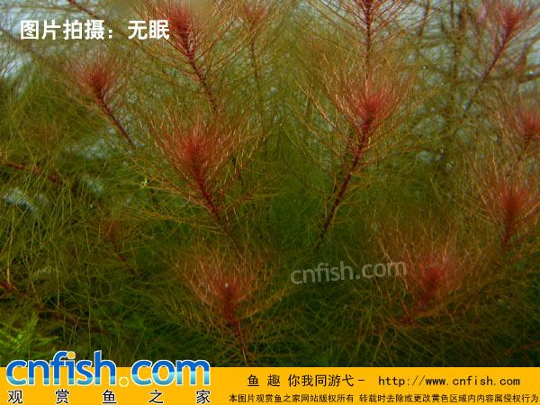烏蘇里聚藻