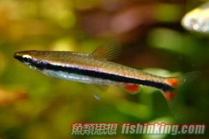 紅肚鉛筆魚