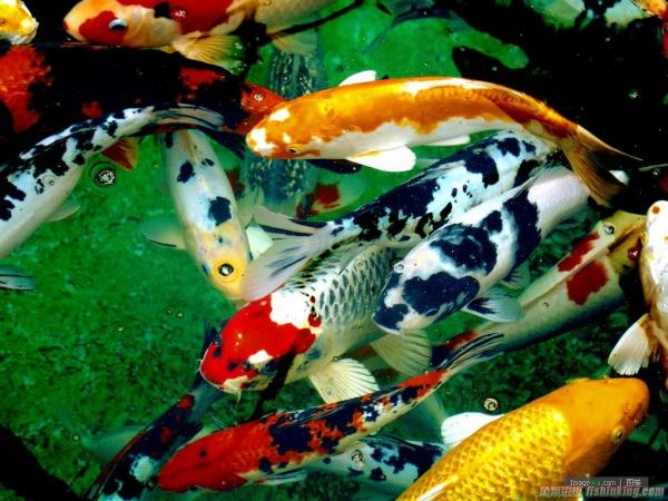 鯉科(Cyprinidae)- 淡水觀賞魚大全