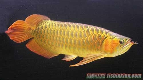 亞洲龍魚| 香港水族網