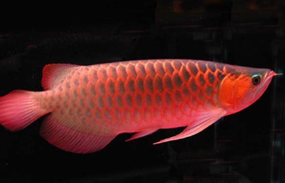 龍魚不愛吃食、拒食的原因分析| ...