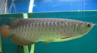 龍魚餵食的看法、認識及誤區