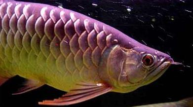 32種龍魚疾病、治療、病因及癥狀