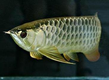 龍魚常見疾病的預防及控制