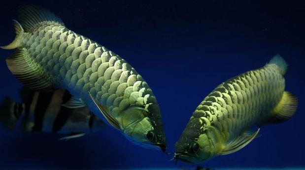 龍魚因凸眼蒙眼造成輕微白內障的治療過程