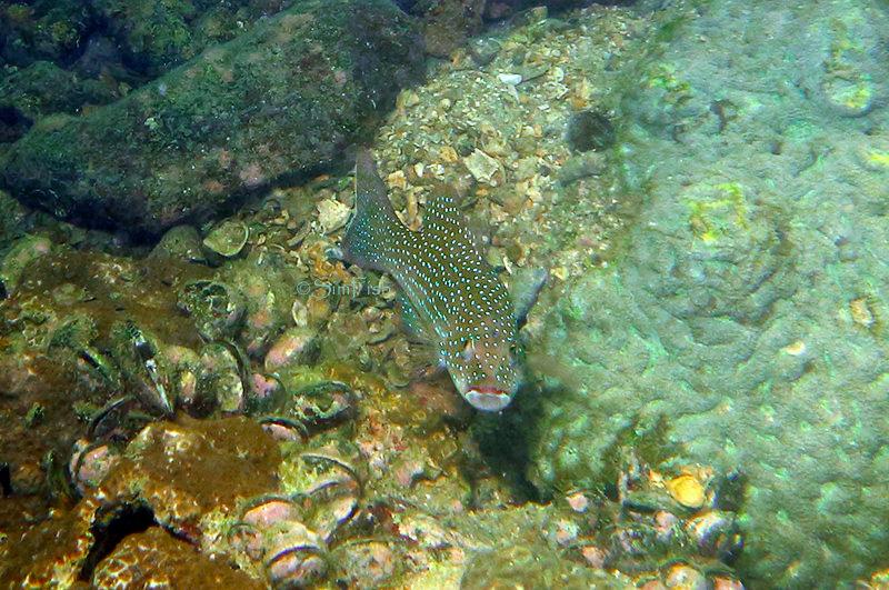 Plectropomus leopardus 東星斑 花斑刺鰓鮨 豹紋鰓棘鱸 Leopard coralgrouper