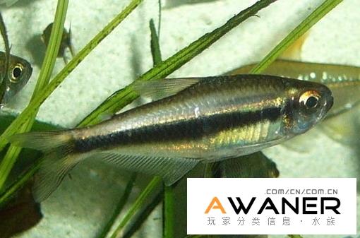 [脂鯉科]黑燈魚