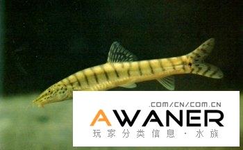 [鳅鱼科]花斑副沙鳅
