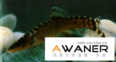 [鰍魚科]桂林薄鰍
