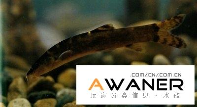 [鰍魚科]扁尾薄鰍