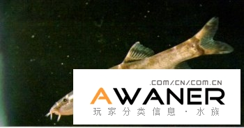 [鰍魚科]紅唇薄鰍