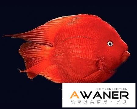 [慈鯛科]紅元寶鸚鵡魚