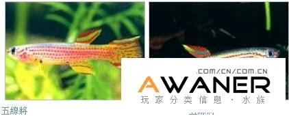 卵生鱂魚概述三