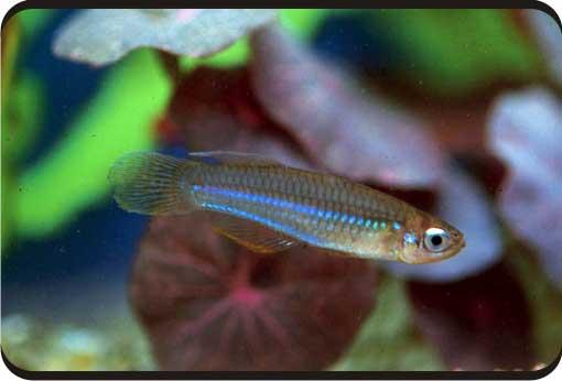 [卵生鱂魚科]七彩藍眼燈