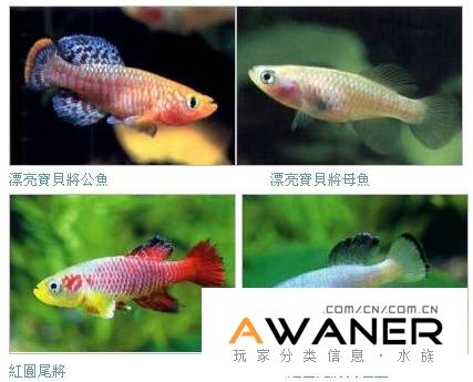 卵生鱂魚概述