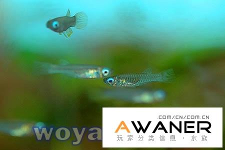 [卵生鱂魚科]藍眼燈