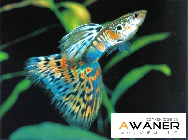 [胎生鱂魚科]古老系孔雀魚