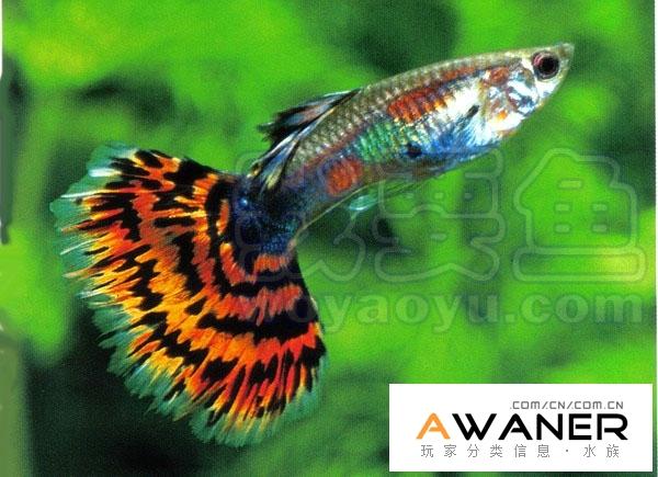 [胎生鳉鱼科]红马赛克孔雀鱼