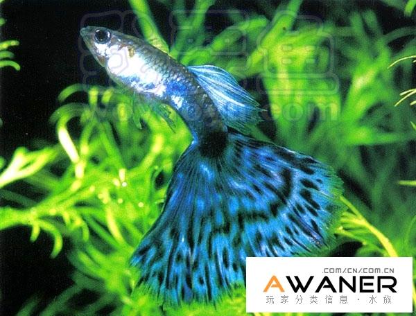 [胎生鱂魚科]藍馬賽克孔雀