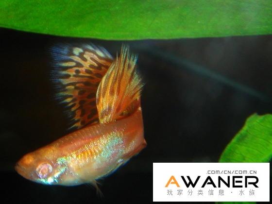 [胎生鱂魚科]紅草尾白子孔雀魚