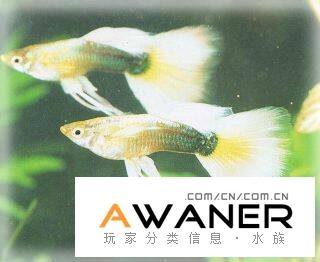 [胎生鱂魚科]黃禮服孔雀魚