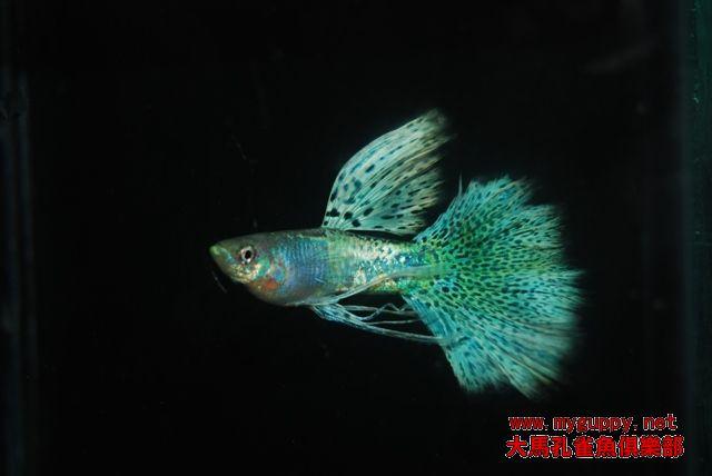 [胎生鱂魚科]金屬蛇王孔雀魚
