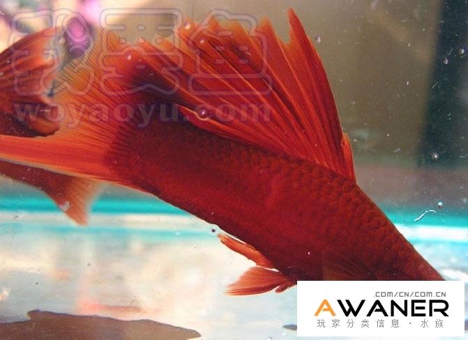 [胎生鱂魚科]紅劍 (劍尾魚)