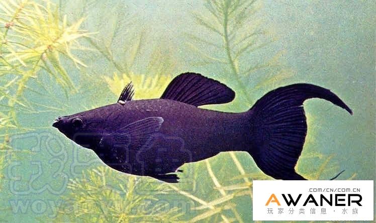 [胎生鱂魚科]黑摩利