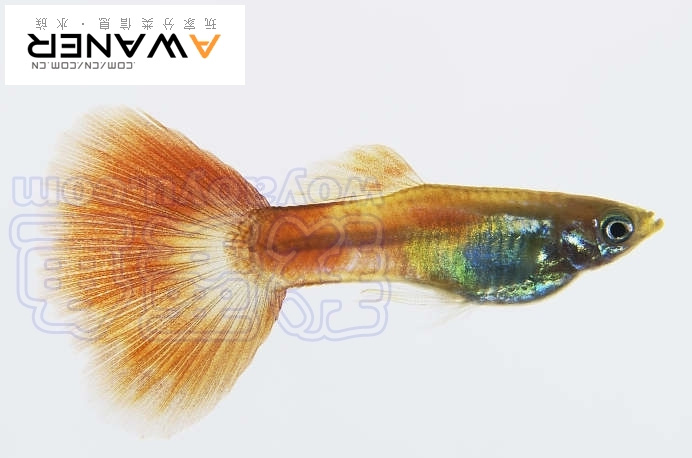 [胎生鱂魚科]孔雀魚