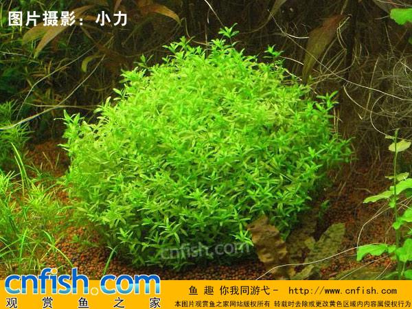 日本珍珠草