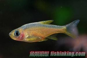 斯里蘭卡火波魚