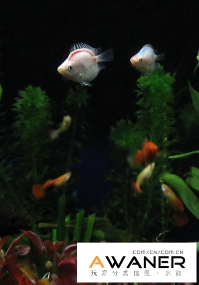 觀賞魚的拍攝