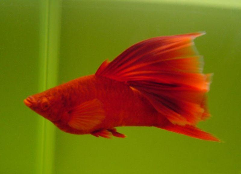 紅箭魚怎麼分公母