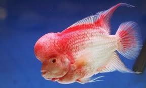 魚友飼養羅漢解決褪色的辦法